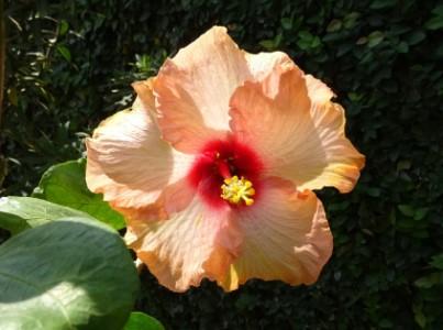 flor de melocoton