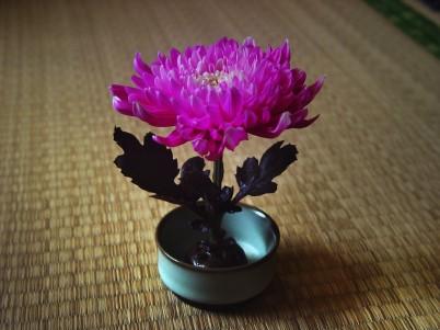 el crisantemo flores chinas